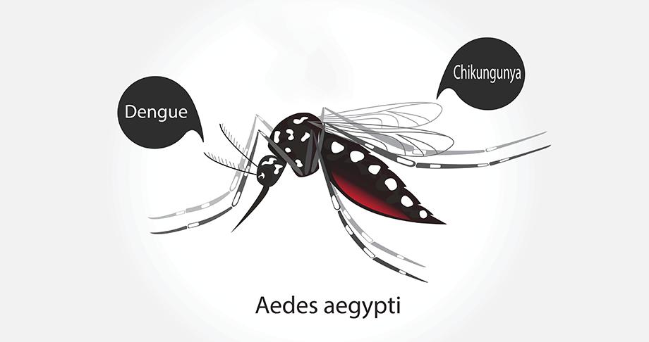 Dengue & Chikungya Fever Mosquito